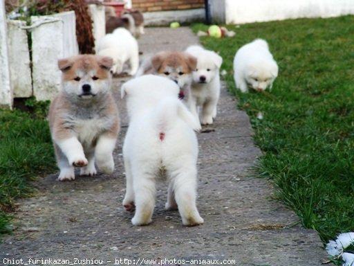 343015-animaux-chiens-akita-inu.jpg