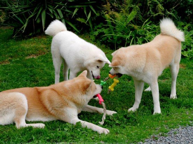 433937-animaux-chiens-akita-inu-1.jpg