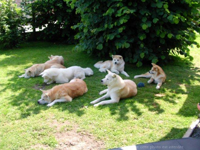 476742-animaux-chiens-akita-inu-1.jpg